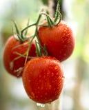 Les tomates mûres et fraîches de couleur rouge, jaune, verte accrochent sur les branches en serre chaude Photo libre de droits