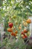 Les tomates mûres et fraîches de couleur rouge, jaune, verte accrochent sur les branches en serre chaude Photos stock