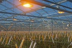 Les tomates se développent plus rapidement sous la lumière artificielle de croissance Photographie stock