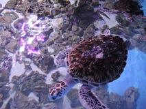Les tortues énormes de l'eau nagent dans un aquarium ouvert photographie stock libre de droits
