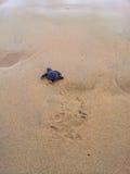 Les tortues de bébé le faisant est chemin vers l'océan Photo stock
