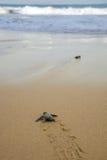 Les tortues de bébé le faisant est chemin vers l'océan Image libre de droits