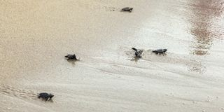 Les tortues hachées de bébé, marchant sur le sable essayant d'entrer dans la mer, une ont tourné à l'envers après vague photographie stock