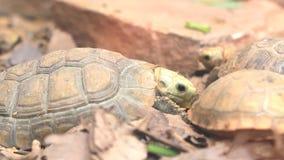 Les tortues mangeant de la nourriture.