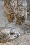 Les tortues se ferment  Photos libres de droits