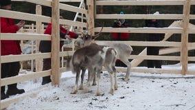 Les touristes alimentent et prennent des photos du jeune renne banque de vidéos