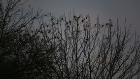 Les ?tourneaux se reposent sur un arbre et puis volent loin banque de vidéos