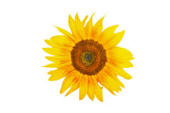 Les tournesols Photo stock