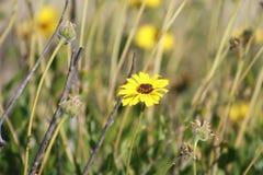 Les tournesols Carpinteria de côte bluffe la préservation de la nature la Californie Photographie stock