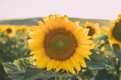 Les tournesols donnent une consistance rugueuse et fond pour des concepteurs Macro vue de tournesol en fleur Fond organique et na image libre de droits