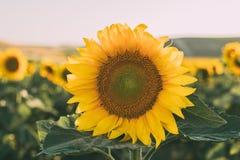 Les tournesols donnent une consistance rugueuse et fond pour des concepteurs Macro vue de tournesol en fleur Fond organique et na photographie stock libre de droits