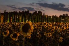 Les tournesols mettent en place au crépuscule avec le ciel rose, Ombrie, Italie photo libre de droits