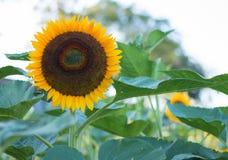 Les tournesols sur des tournesols mettent en place et brouillent le fond, vers en fleurs Images stock