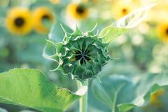 Les tournesols sur des tournesols mettent en place et brouillent le fond, vers en fleurs Photographie stock