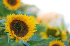 Les tournesols sur des tournesols mettent en place et brouillent le fond, vers en fleurs Image libre de droits