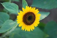 Les tournesols sur des tournesols mettent en place et brouillent le fond, vers en fleurs Image stock