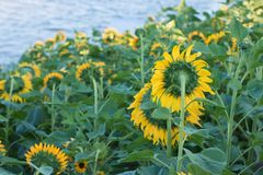 Les tournesols sur des tournesols mettent en place et brouillent le fond, vers en fleurs Photo stock