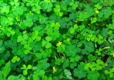 Les trèfles verts poussent des feuilles avec peu de fleur jaune image stock