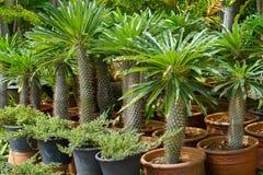 Les transitoires d'un lamerei de Pachypodium de palmier du Madagascar image stock