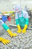 Les travailleurs arrangent des crevettes dans une ligne à la machine de congélation dans une usine de fruits de mer au Vietnam Photographie stock libre de droits