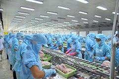 Les travailleurs ceignent d'un bandeau le poisson-chat de pangasius dans une usine de fruits de mer dans le delta du Mékong du Vi Photos libres de droits