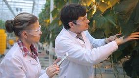 Les travailleurs chimiques vérifient des feuilles, les tiges, condition de l'entreprise en serre chaude clips vidéos