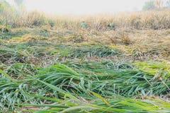 Les travailleurs coupent la canne à sucre pendant le matin dans Kanchanaburi Tha photos stock