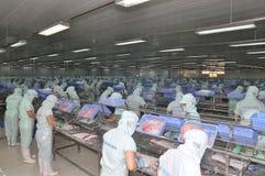Les travailleurs sont découpage des filets du poisson-chat de pangasius dans une installation de transformation de fruits de mer  Photos libres de droits