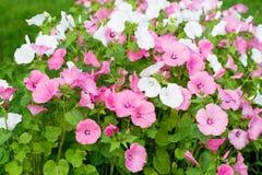 Les trimestris de Lavatera (mauve annuelle) dentellent la fleur sauvage en nature Photos libres de droits