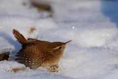 Les troglodytes de Wren Troglodytes d'Eurasien s'assied sur la neige photos stock