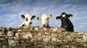 Les trois bétail sages Photographie stock