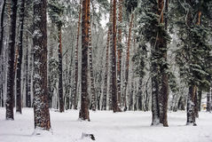 Les troncs de Brown de grands pins et parmi le hvoyah en hiver neigent Images stock