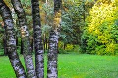 Les troncs de l'arbre de tremble dans la perspective de la forêt d'automne, allumés par les rayons du soleil photo libre de droits