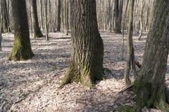 Les troncs des arbres Photo stock