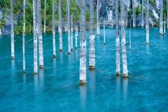 Les troncs desséchés des arbres submergés de sapin de Schrenk's qui se lèvent au-dessus des water's apprêtent du fond du lac Images libres de droits