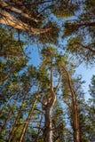 Les troncs et les branches des pins contre le ciel bleu image stock