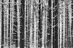 Les troncs et les branches des sapins couverts de neige blanche, forêt d'hiver photos libres de droits
