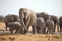 Les troupeaux d'éléphants avec des petits animaux poussent au point d'eau, Etosha, Namibie Image stock