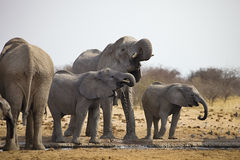 Les troupeaux d'éléphants avec des petits animaux poussent au point d'eau, Etosha, Namibie Photographie stock libre de droits