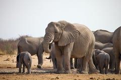 Les troupeaux d'éléphants avec des petits animaux poussent au point d'eau, Etosha, Namibie Photo stock