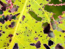 Les trous de ver de morsure sur des feuilles photos libres de droits