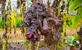 Les tubercules du topinambour sont tirés de la terre photos libres de droits
