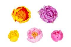 Les tulipes bourgeonne dans différents angles d'appareil-photo d'isolement sur le backgro blanc Images stock