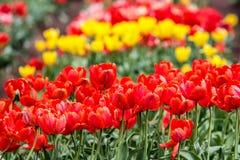 Les tulipes colorées Photographie stock libre de droits