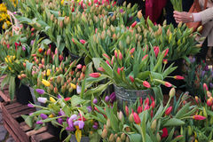 Les tulipes colorées sur l'affichage aux agriculteurs lancent sur le marché en mars Photo libre de droits