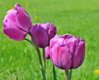 Les tulipes de couleur lilas se développent sur un parterre Image stock