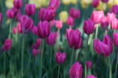 Les tulipes de floraison roses grandissent dans le jardin photos stock