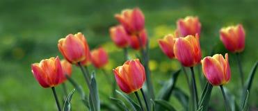 Les tulipes de la source Photographie stock libre de droits