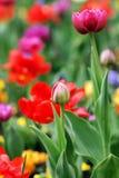 Les tulipes de ressort fleurit la fin rouge-rose colorée vers le haut du fond Photographie stock