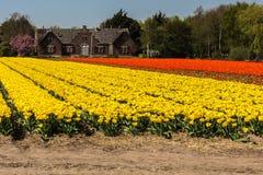 Les tulipes et les fleurs sont le produit principal d'exportation des Pays-Bas image libre de droits